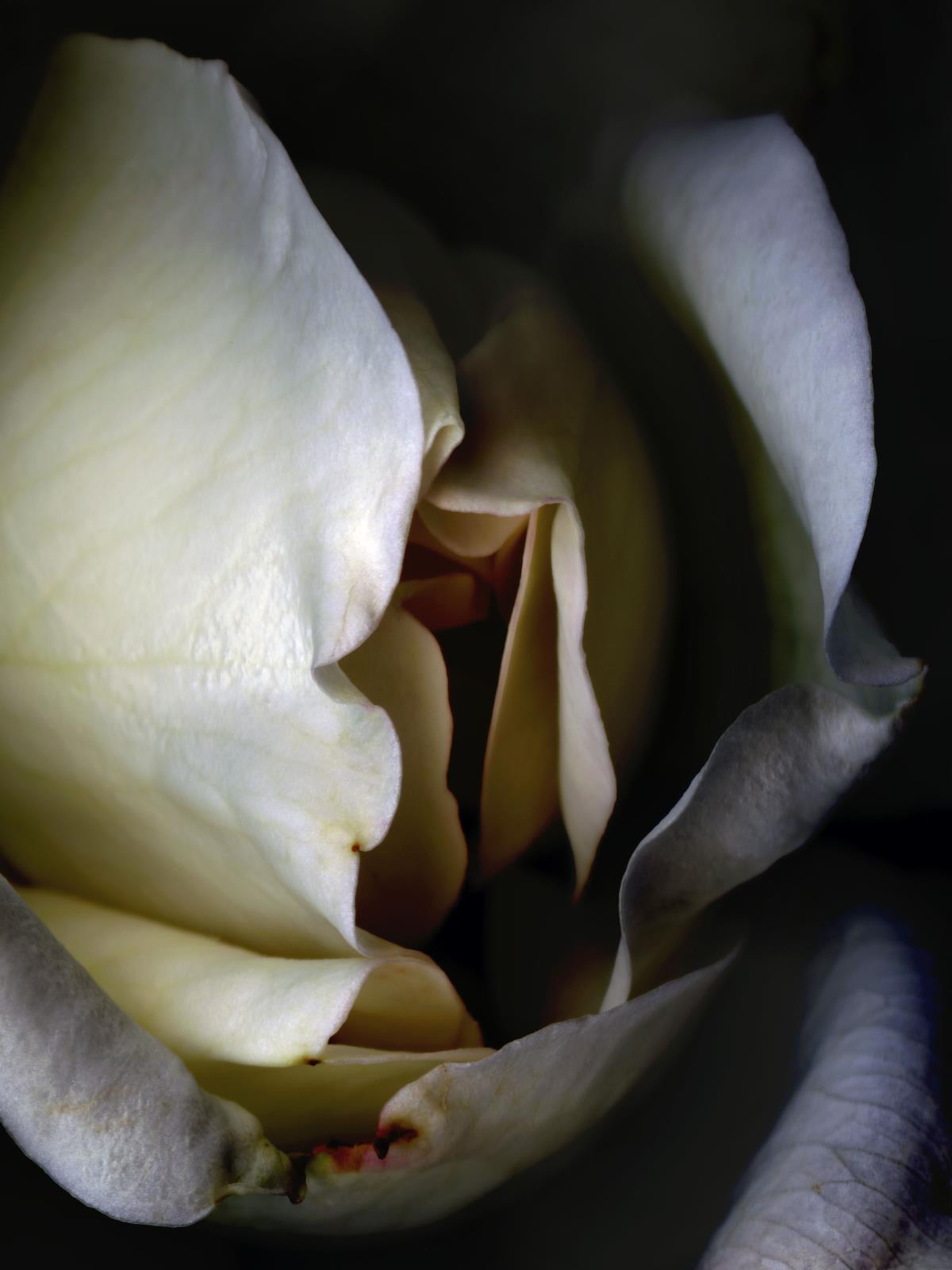 Hermann Försterling, Rose Nr. 099, 2004, Inkjet auf handbeschichtetem Bütten, 40 cm x 53 cm, (im Passepartout 70 cm x 80 cm), Auflage: 12